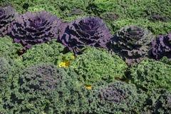 Trädgårdsängar med olika typer för kål Royaltyfri Bild