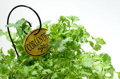 trädgårds- ört för koriander Arkivfoton