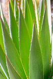 Trädgårds- agave för öken Arkivbild