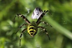 Trädgårds- annalkande rov för spindel (Argiopeaurantia) Royaltyfria Foton