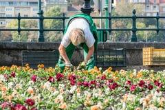 Trädgårds- arbetare för kvinnlig som planterar färgrika växter i en blomsterrabatt i den Budapest Ungern Royaltyfria Bilder