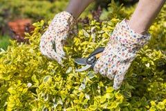 Trädgårds- arbete - klippa buskar fotografering för bildbyråer