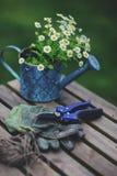 Trädgårds- arbetsstilleben i sommar Kamomillblommor, handskar och hjälpmedel på trätabellen Royaltyfri Fotografi