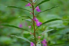 Trädgårds- balsam eller Rose Balsam arkivfoto