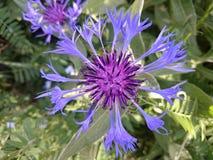 Trädgårds- blåklint Fotografering för Bildbyråer