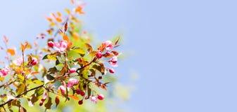 Trädgårds- blom- bakgrund för vår Blomstra rosa kronbladblommanärbild Fruktträdfilial på bakgrund för blå himmel Royaltyfri Fotografi