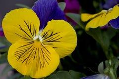 Trädgårds- blomma royaltyfri fotografi
