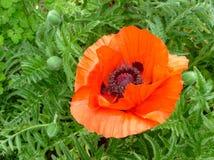 Trädgårds- blomma Royaltyfria Foton