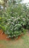 Trädgårds- blomma bush2 Arkivfoton