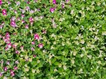 Trädgårds- blomma, fält av tusenskönablomman Arkivfoto
