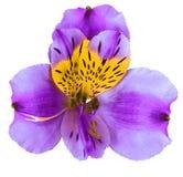 Trädgårds- blomma för lilagulingorkidé som isoleras på vit bakgrund Närbild Makro element för klockajuldesign Royaltyfria Foton