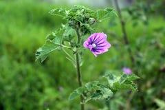 Trädgårds- blommagräs arkivfoton