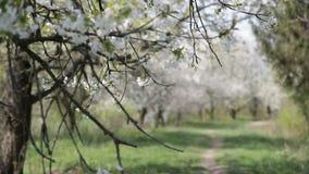 Trädgårds- blommande körsbär Blomningkörsbär - materiellängd i fot räknat stock video