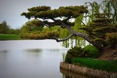 Trädgårds- bonsai för japan Arkivfoto