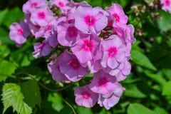 Trädgårds- buske med rosa små blommor arkivfoton