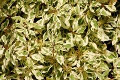Trädgårds- buskemodell Royaltyfria Foton