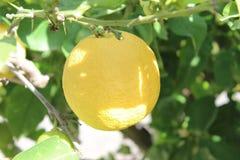 trädgårds- citroner Arkivbild