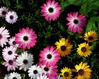 Trädgårds- Daisy Flowers Arkivbild