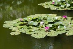 Trädgårds- damm Royaltyfria Bilder