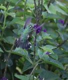 Trädgårds- Emerald Hummingbird Chlorostibon assimilis Arkivfoton