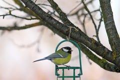Trädgårds- fågel på fet förlagematare Fotografering för Bildbyråer