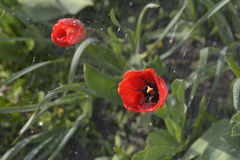 trädgårds- fjädertulpan Fotografering för Bildbyråer