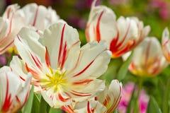 trädgårds- fjädertulpan för härliga blommor Arkivbild