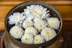 trädgårds- fjäderwhite för chrysanthemum royaltyfria foton