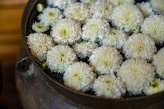 trädgårds- fjäderwhite för chrysanthemum fotografering för bildbyråer