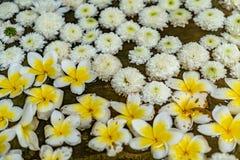 trädgårds- fjäderwhite för chrysanthemum arkivfoto