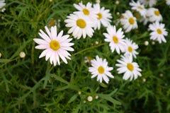 trädgårds- fjäderwhite för chrysanthemum Arkivfoton