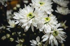 trädgårds- fjäderwhite för chrysanthemum royaltyfri bild