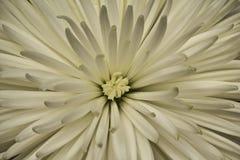 trädgårds- fjäderwhite för chrysanthemum royaltyfri fotografi