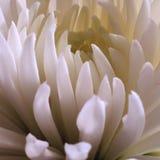 trädgårds- fjäderwhite för chrysanthemum royaltyfria bilder