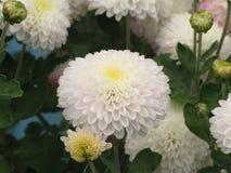trädgårds- fjäderwhite för chrysanthemum arkivbilder