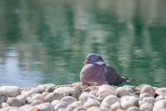Trädgårds- fridfull naturbild för Zen Fridfull fågel vid det dekorativa dammet Royaltyfria Foton