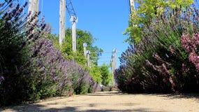 Trädgårds- gångbana med söt lavendel arkivfoto
