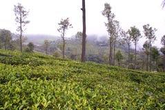 trädgårds- grön frodig tea Arkivbild