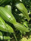 trädgårds- grön leaf Fotografering för Bildbyråer