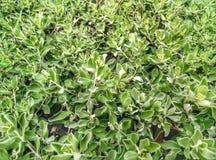 trädgårds- gröna växter Arkivfoto