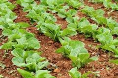 trädgårds- grönsak Royaltyfri Foto