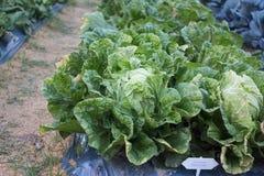 trädgårds- grönsak för blomkål Royaltyfria Bilder