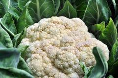 trädgårds- grönsak för blomkål Fotografering för Bildbyråer