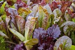 trädgårds- grönsallat Arkivfoton