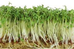 trädgårds- groddar för cress Royaltyfri Bild