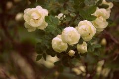 Trädgårds- groteska vita rosor Fotografering för Bildbyråer