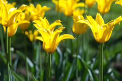 Trädgårds- gula tulpan Royaltyfri Foto
