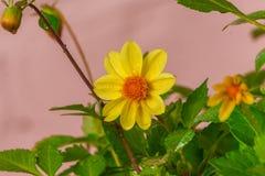 trädgårds- gulingblommor Royaltyfria Bilder