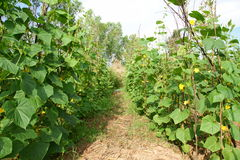 Trädgårds- gurkor. Arkivfoton