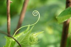 Trädgårds- gurkor. Arkivbilder